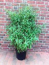 Bambus, Höhe: 160-170 cm, Fargesia Jumbo,