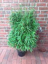 Bambus Pflanzen, Höhe: 120-130 cm, Fargesia