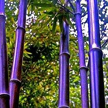 Bambus Samen Winterhart, Bunte Riesenbambus Samen