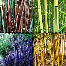 Bambussamen, 300 Stück Bambussamen Phyllostachys
