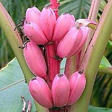 Banana Tree Fruit Samen Seltene Mini Bonsai Rosa