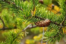 Banks-Kiefer Pinus banksiana Kiefer Pflanze 30cm