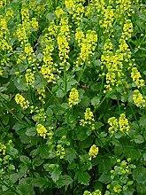 Barbarakraut, Winterkresse (Bio-Saatgut) 300 Samen