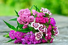 Bartnelke Dianthus barbatus 500 Samen