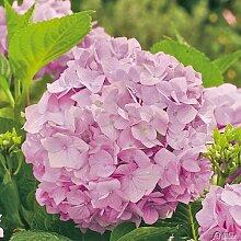 Bauernhortensie 'Bouquet Rose'