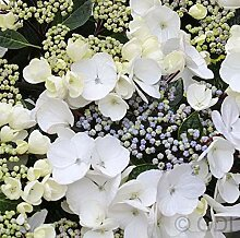 Bauernhortensie Benxi 30-40cm - Hydrangea