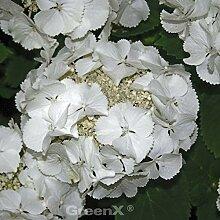 Bauernhortensie Bianco® 60-80cm - Hydrangea