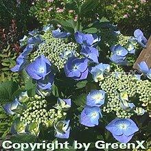 Bauernhortensie Blaumeise 40-60cm - Hydrangea