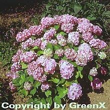 Bauernhortensie Bouquet Rose 40-60cm - Hydrangea
