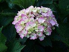 Bauernhortensie Bouquet Rose - Hydrangea