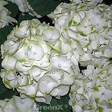 Bauernhortensie Caipirinha® 30-40cm - Hydrangea