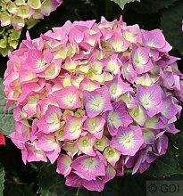 Bauernhortensie Everbloom Blue Wonder® 30-40cm -