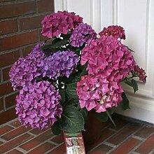 Bauernhortensie Hobergine® 30-40cm - Hydrangea