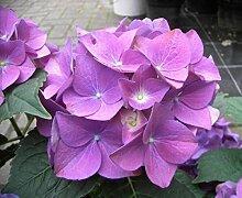 Bauernhortensie Hobergine - Hydrangea macrophylla