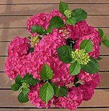 Bauernhortensie Hot Red 60-80cm - Hydrangea