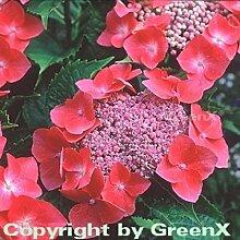Bauernhortensie Kardinal 40-60cm - Hydrangea