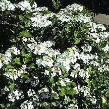 Bauernhortensie Lanarth White - Hydrangea