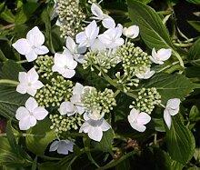 Bauernhortensie Lanarth White - Tellerhortensie -