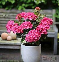 Bauernhortensie Leuchtfeuer 30-40cm - Hydrangea