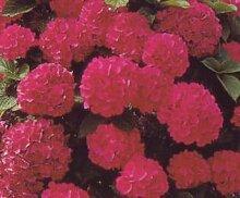 Bauernhortensie Masja - (Hydrangea macrophylla