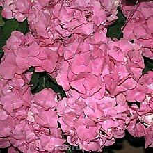 Bauernhortensie Moritzburg® 30-40cm - Hydrangea