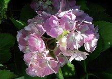Bauernhortensie Otaksa - Hydrangea macrophylla