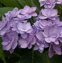 Bauernhortensie Romance 30-40cm - Hydrangea