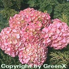 Bauernhortensie Rosita 60-80cm - Hydrangea