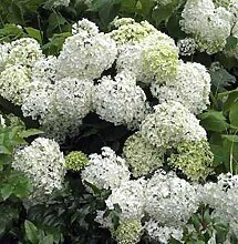 Bauernhortensie Schneeball 30-40cm - Hydrangea