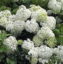 Bauernhortensie Schneeball 40-60cm - Hydrangea