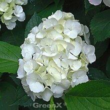 Bauernhortensie Wudu® 40-60cm - Hydrangea