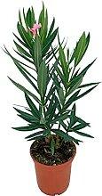 Baum – Oleander – Höhe: 30 cm