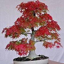 Baum Samen 30Pcs/Bag Ahorn Baum Samen Prolific