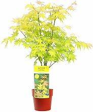 Baum von Botanicly – Fächerahorn Orange Dream
