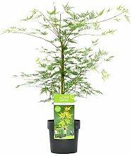 Baum von Botanicly – Japanischer Fächerahorn