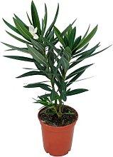 Baum von Botanicly – Oleander – Höhe: 30 cm