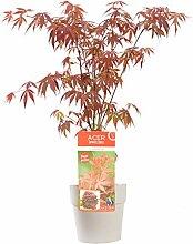 Baum von Botanicly – Roter Fächerahorn –