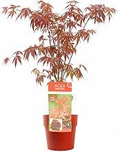 Baum von Botanicly – Roter Fächerahorn in