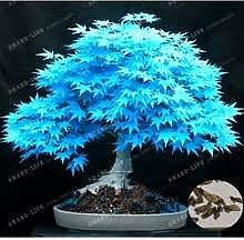 Baumsamen 20 Ahornsamen Bonsai blau Pflanzen Samen