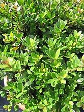 Baumschule Pflanzenvielfalt Löffel-Ilex Dark