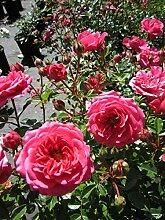 Baumschule Pflanzenvielfalt Rosa Amulett® -