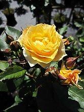 Baumschule Pflanzenvielfalt Rosa Apricot Meilove®
