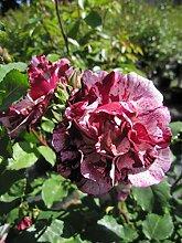 Baumschule Pflanzenvielfalt Rosa Art Nouveau® -