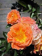 Baumschule Pflanzenvielfalt Rosa Bessy® -