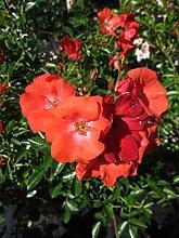 Baumschule Pflanzenvielfalt Rosa Deseo® -
