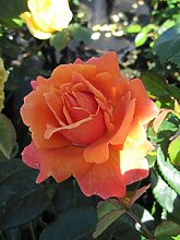 Baumschule Pflanzenvielfalt Rosa Easy Does It® -