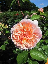 Baumschule Pflanzenvielfalt Rosa Evelyn® -