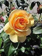 Baumschule Pflanzenvielfalt Rosa Gene Tierney® -