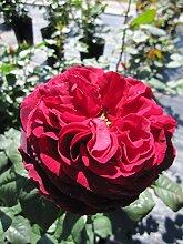 Baumschule Pflanzenvielfalt Rosa Gospel® -