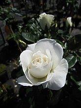 Baumschule Pflanzenvielfalt Rosa Kristall® -